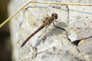 Possible female common darter - ID help please