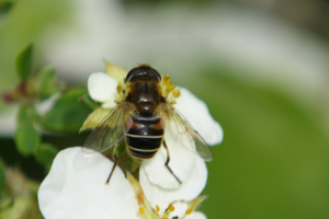 Eristalis sp - dark colouring, ID help would be appreciated
