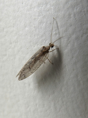 lacewing - Id help or correction appreciated