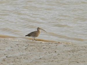 Curlew 01 12-11-09