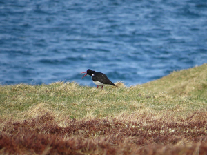 Oyster catcher Scotland_13-04-29_1