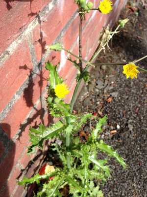 Prickly Sow-thistle - Maybe