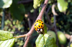 Harlequin ladybird - possibly