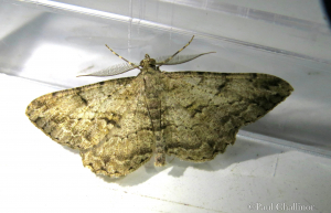 Beauty Moth