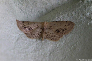 Single-dotted Moth