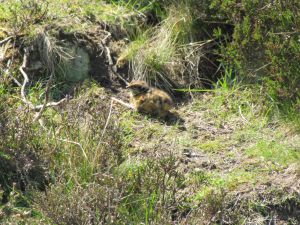Red Grouse Chick - Temperley's Tread