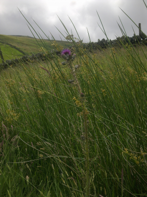 Marsh Thistle - Temperley's Tread