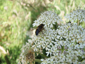 Hoverfly on Hogweed - Temperley's Tread