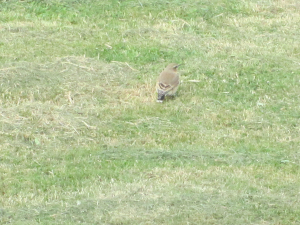 is it a wheatear?