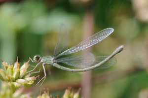 Female damselfly at stover