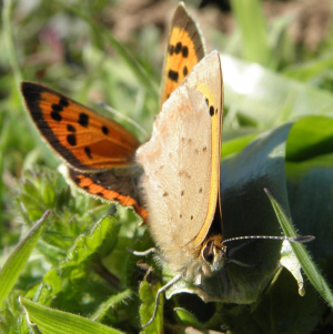 small coppers mating