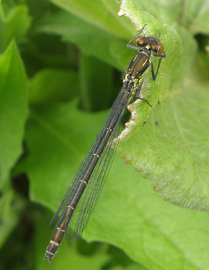 Red-eyed Damselfly