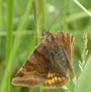meadow moth