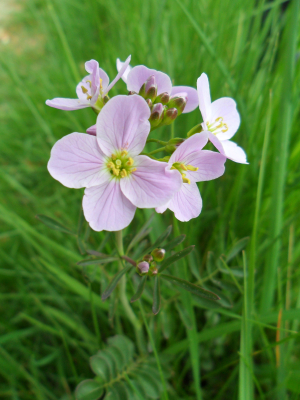 Cuckooflower?