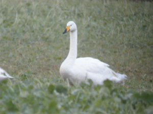 Whooper Swans at Tunnel pits nr Hatfield Moors