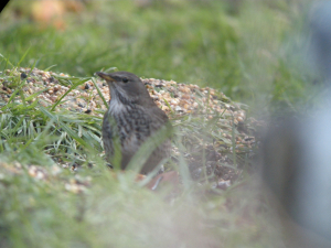 Black Throated Thrush at Newholm, North Yorks