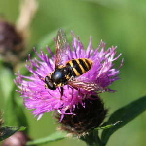 black and yellow hoverfly