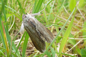 Brown moth with hairy legs