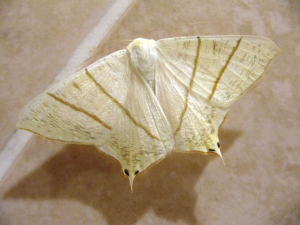 Swallow-Tailed Moth (Ourapteryx sambucaria)
