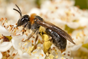 Andrena Female