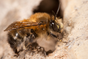 Hairy-Footed Flower Bee - Male