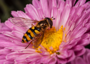 Hoverfly - species?