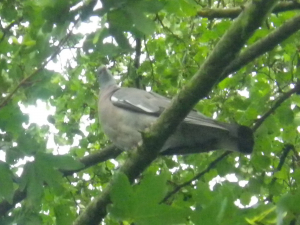 Woodpigeon found in Stoke-On-Trent