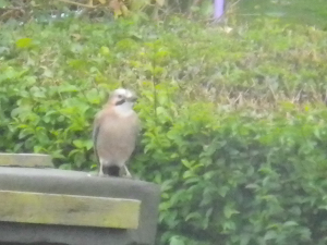 Jay found in Stoke-on-Trent