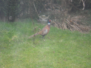 Pheasant found in Stoke-on-Trent