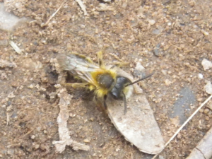 Bee found in Stoke-on-Trent