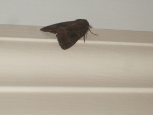 Large dark moth