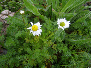 sea mayweed