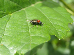 red shouldered fly