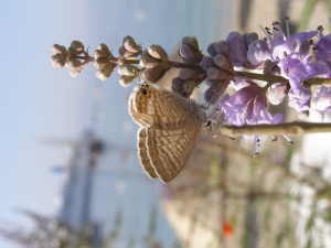 long tailed blue in Turkey