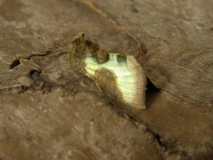 which Burnished Brass ?