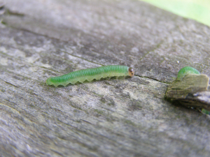 caterpillars seeking pupation sites on posts