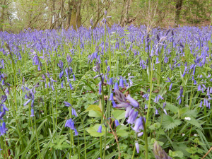 Bluebell type?