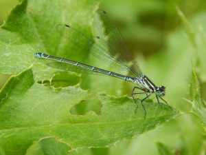 damsel in woodland