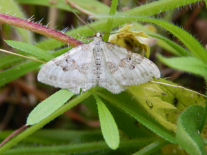 another carpet moth