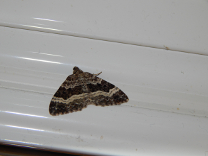 common carpet