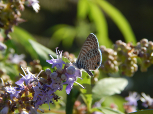 Langs Short Tailed Blue in Turkey