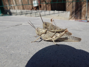 Locusts in Turkey