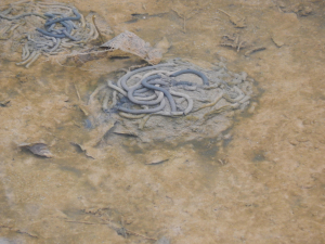 worm casts on bottom of pond