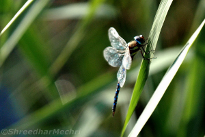 Migrant Hawker (♂Aeshna mixta)