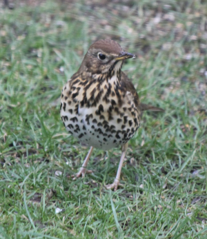 Song Thrush or Mistle Thrush?