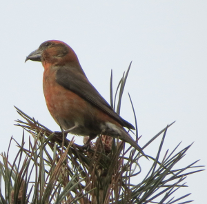 Scottish or Common Crossbill?