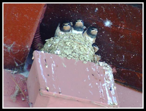 Swallows and nest