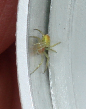 Green Spider with red markings