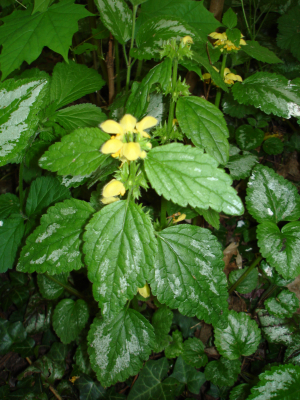 Is this Yellow Archangel