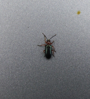 Unidentified beetle